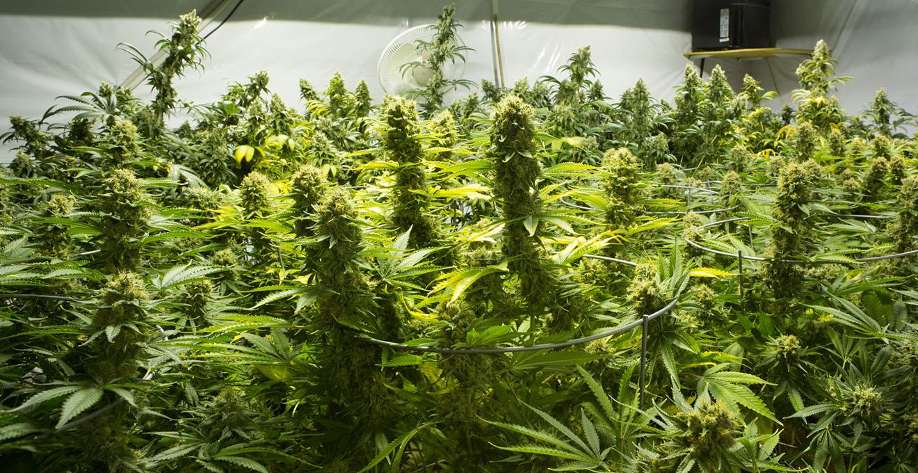 Марихуана дорого купить семена марихуану спб