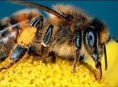 Бджоли які піднімаються рано